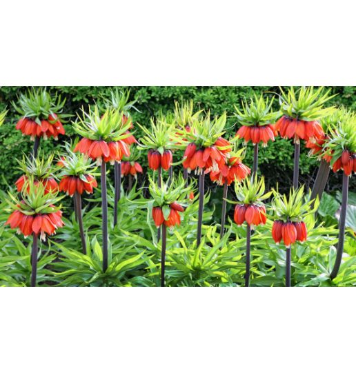 Red Crown Imperials Fritillaria 4 pc.