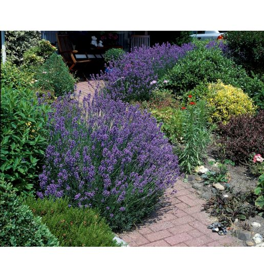 Fat Budded English Grosso Lavender 3 pc.