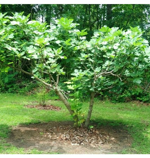 Hardy Chicago Fig Tree in 1/2 Gallon Pot 1 pc.