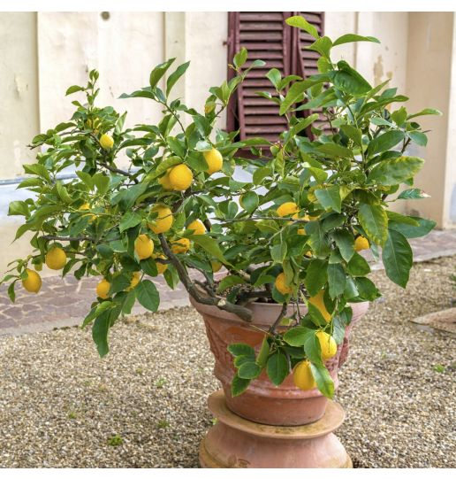 Quick Fruiting Meyer Lemon Patio Tree 1 pc. *Ships early September 2021*