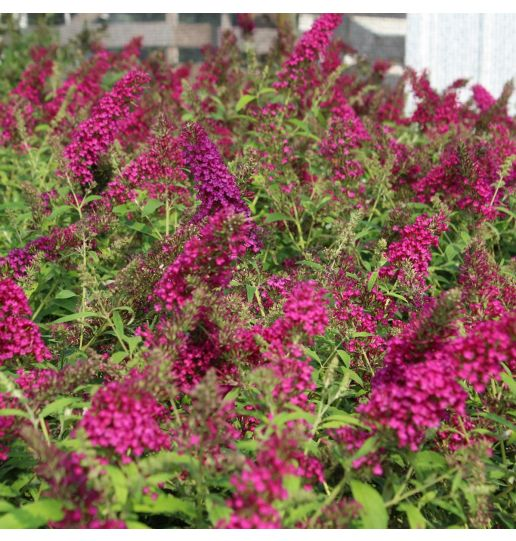 Queen of Hearts Monarch® Collection Buddleia Butterfly Bush 1 pc.