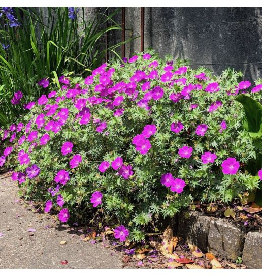 Irresistible and Compact Winter Hardy Geranium 4 pc. -Assortment