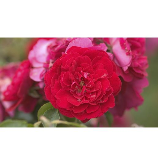 Easy Elegance® Sweet Fragrance Shrub Rose Choice of Apricot, Red or Yellow 1 pc.