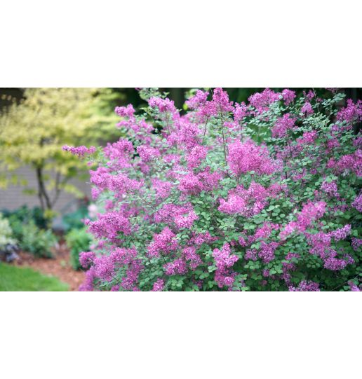 Proven Winners® Bloomerang® Lilac Choice of Pink or Purple 1 pc.-Purple