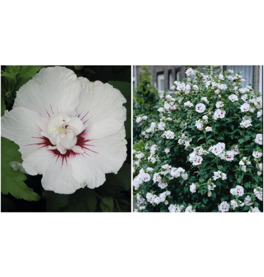 First Editions® Rose of Sharon Choice of Fuchsia, Blue or White 1 pc.