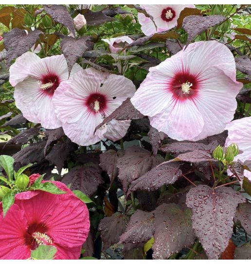 Dark Leafed & Handsome Hardy Hibiscus Bare-root 2 pc.