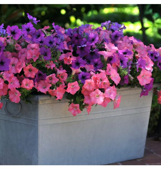 Easy Wave® Petunias PWD- 4 pc.