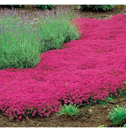 English Creeping Thyme Choice of White, Red, Purple or Pink 9 pc.