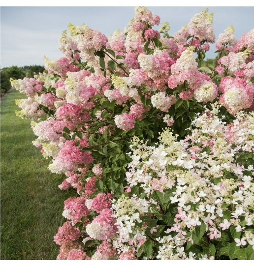 First Editions Berry White® Color Changing Hydrangea 1pc