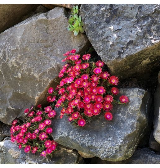 Rock Crystal Winter Hardy Ice Plant Mix 6 pc.