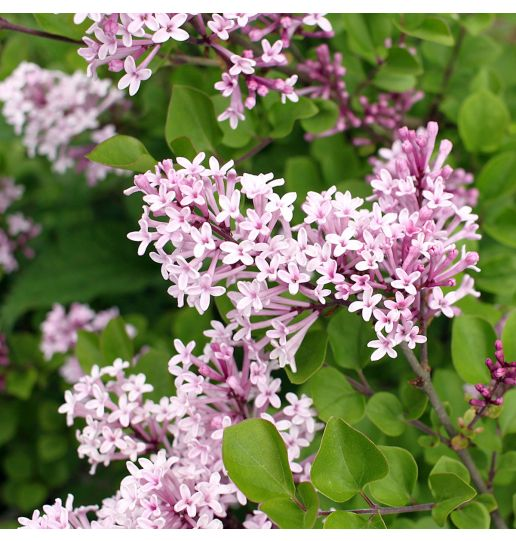 Summer Blooming Baby Lilac 1 pc.