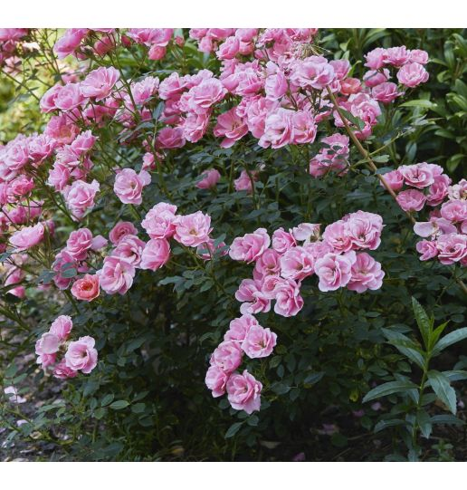 Proven Winners® OSO  Easy Rose® Color Choice 1 pc.