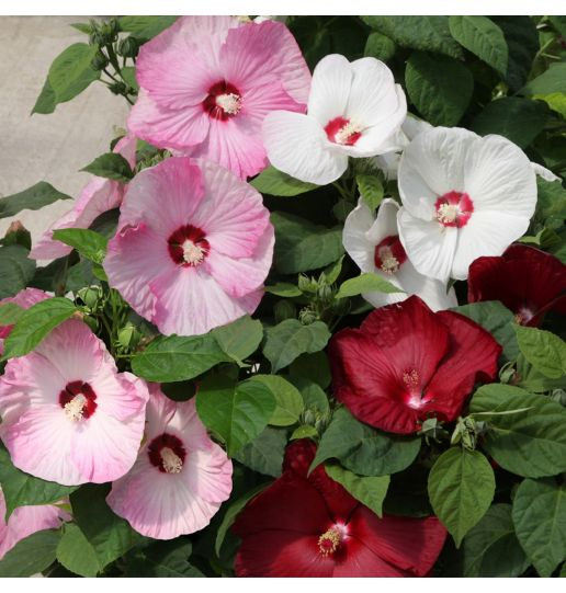 Better Together Honeymoon 4-in-1 Hardy Hibiscus 1 pc.