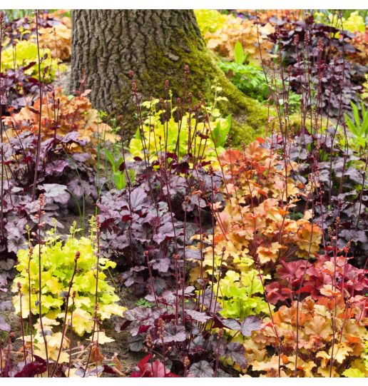 Northern Exposure™ Coral Bells 3 pc.- Asst.
