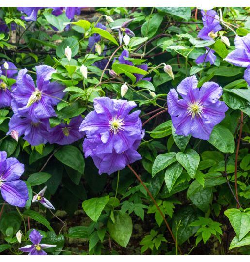 Red White & Blue Clematis Collection 3 in 1