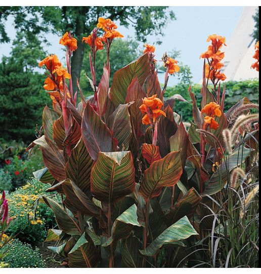 Multi-colored and Dark Leafed Tropical Durban Cannas - 3 pc