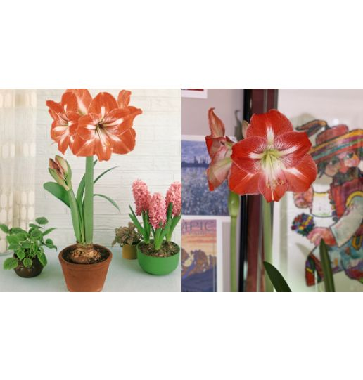 Dutch Holiday Amaryllis 1 pc. with Pot - Color Choice (Ships week of Nov. 9th)