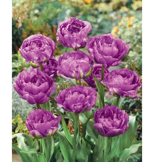 Peony Tulips Fragrant and Double Flowering 20 pc. Assortment