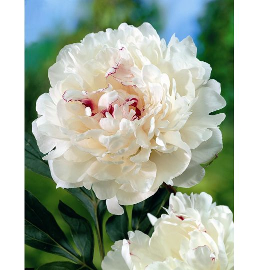 Deluxe Garden Peony Collection 3 pc.