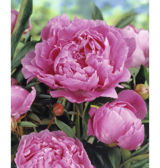 Bounty of Blooms Victorian Peony Collection 3 pc.