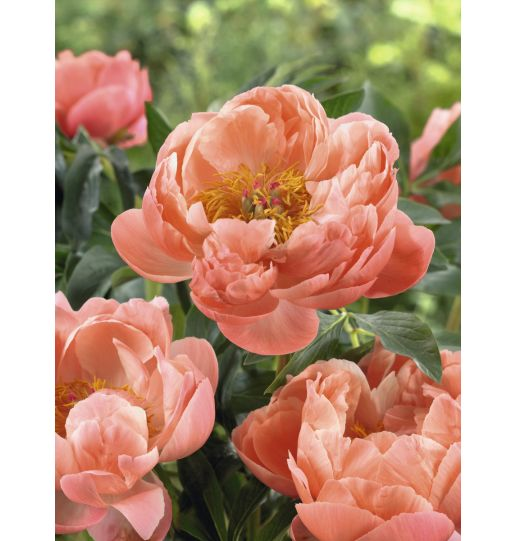 Bounty of Blooms Victorian Peony Collection *Fall Shipping* 3 pc.