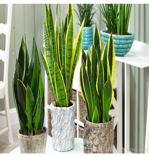 Clean the Air Houseplants 2 pc. (Ships week of Aug. 30th)